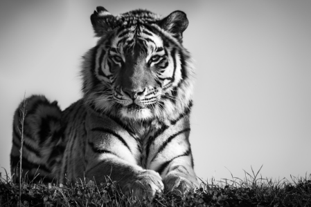 Picture no: 11761594 Sibirischer Tiger Created by: Richard-Young