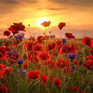 Picture no: 11769150 Sommermohn Created by: Steffen Gierok