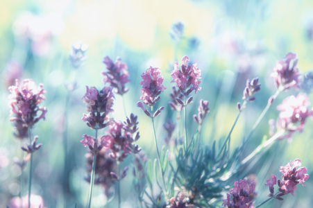 Picture no: 11778838 Lavendel Sommertraum Created by: Tanja Riedel
