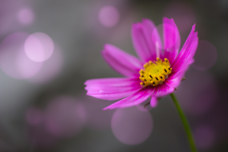 Picture no: 11819733 pink Cosmea Created by: DagmarMarina
