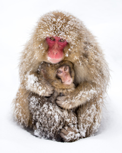 Picture no: 11832347 Japanische Snow Monkeys Created by: eyetronic
