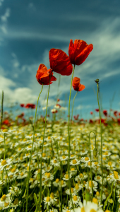 Picture no: 11835073 Drei Mohn Created by: Photosynthese