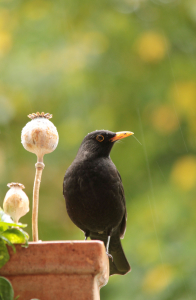 Picture no: 11839269 Amsel im Regen  Created by: Heike Hultsch