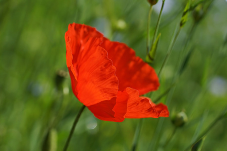 Picture no: 11855978 Poppy Created by: youhaveadream