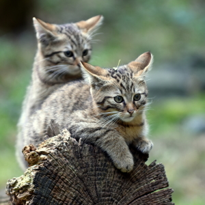 Picture no: 11858107 Wildkatzennachwuchs Created by: GUGIGEI
