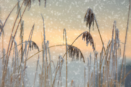 Picture no: 11874471 Schilf Gras im Schneefall Created by: Tanja Riedel