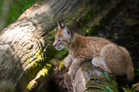Picture no: 11876578 junger Luchs Created by: Cloudtail