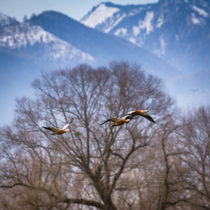 Picture no: 11889769 Vogelflug mit Alpenblick Created by: luxpediation