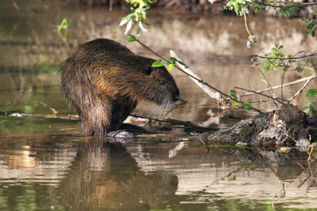 Picture no: 11893026 Nutria Created by: DirkR