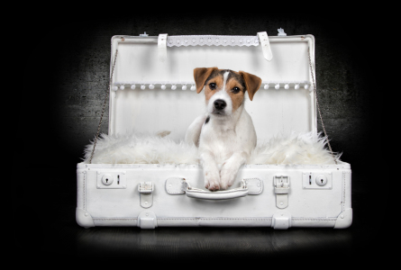Picture no: 11897147 Jack Russel Created by: Nicole-Hollenstein