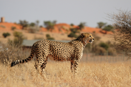 Picture no: 11900533 Gepard in der Kalahari Created by: DirkR