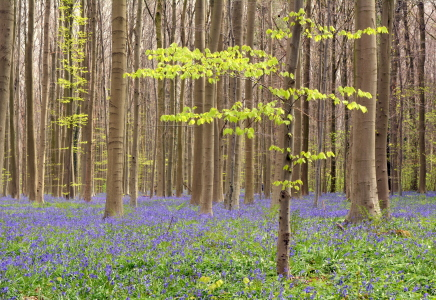 Picture no: 11900699 Hallerbos Created by: GUGIGEI