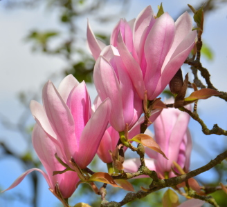 Picture no: 11901783 Magnolienblüten Created by: GUGIGEI