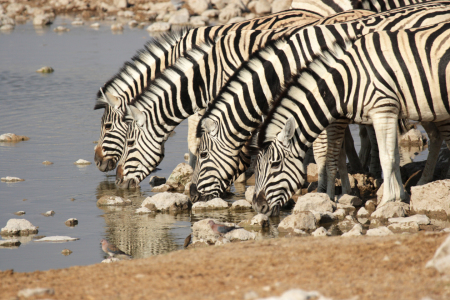 Picture no: 11902427 Zebras am Wasserloch Created by: DirkR