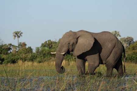 Picture no: 11902431 Elefant im Okavango Delta Created by: DirkR