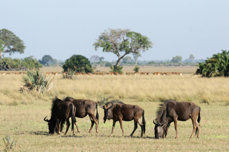 Picture no: 11903287 Gnus im Okavango Delta Created by: DirkR