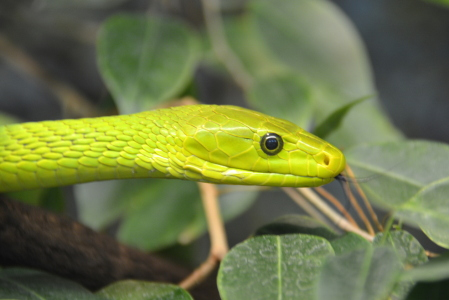 Picture no: 11903970 green mamba Created by: GUGIGEI