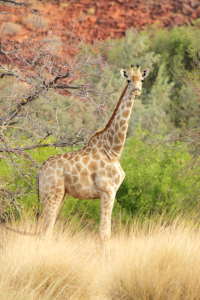 Picture no: 11905456 Giraffe in Namibia Created by: DirkR