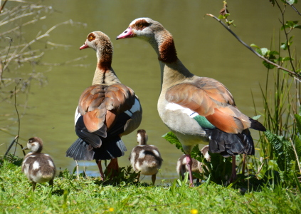 Picture no: 11906274 Familie Nilgans Created by: GUGIGEI