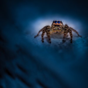Picture no: 11908475 Springspinne - Marpissa muscosa - blue night Created by: Richard-Young