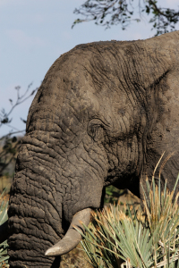 Picture no: 11911385 Elefant im Okavango Delta Created by: DirkR