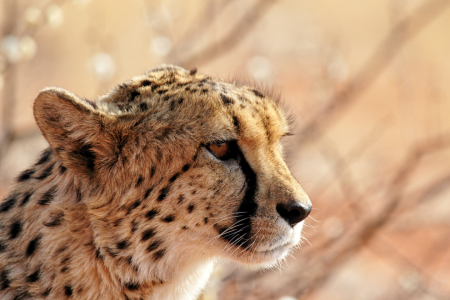Picture no: 11914698 Gepard in der Kalahari Created by: DirkR