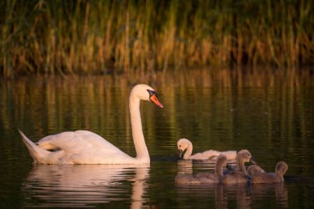 Picture no: 11915619 Schwan-Familie am Abend Created by: luxpediation