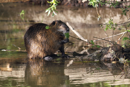 Picture no: 11922548 Nutria Created by: DirkR