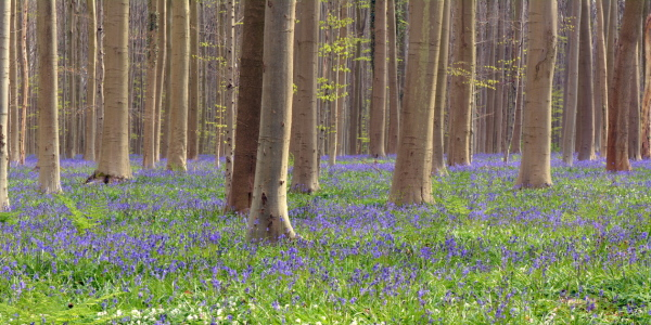 Picture no: 11927426 Hallerbos Created by: GUGIGEI