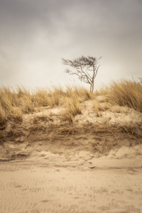 Picture no: 11972822 Strand-Baum am Weststrand im Darß Created by: luxpediation