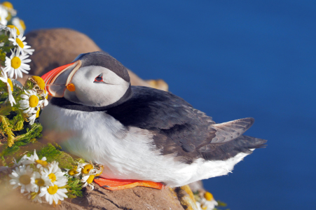 Picture no: 12052705 Posing Puffin on the rocks Created by: reinhard Pantke