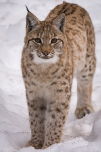 Picture no: 12053224 Luchs im Schnee Created by: luxpediation