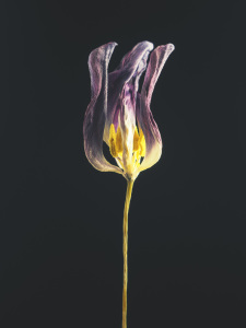 Picture no: 12067844 Withered tulip Created by: Andreas Berheide