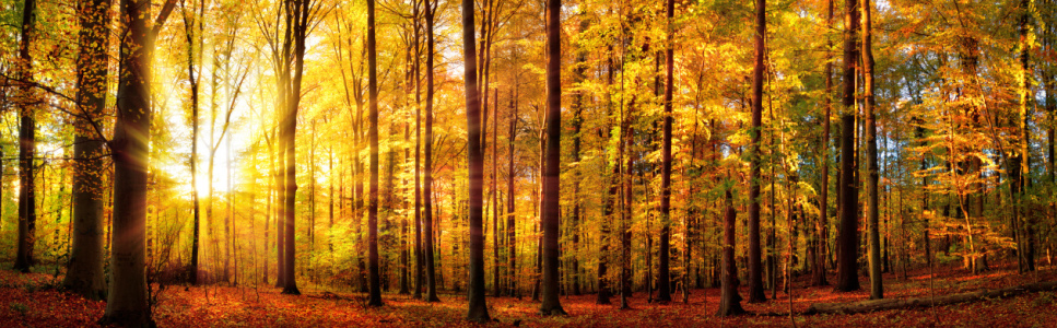 Picture no: 12107438 Wald Panorama mit Sonne im Herbst Created by: Smileus