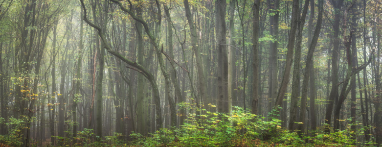 Picture no: 12115672 Alter Zauberwald im Nebel - Panorama Created by: luxpediation