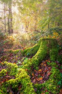 Picture no: 12122878 Wurzel im Wald Created by: luxpediation