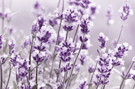 Picture no: 12137014 Lavendel Created by: Atteloi