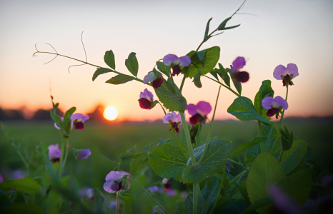 Picture no: 12180590 Sweet Pea at Sunset Created by: SusaZoom