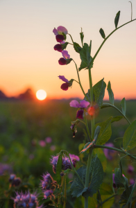 Picture no: 12188998 Sweet Pea at Sunset II Created by: SusaZoom