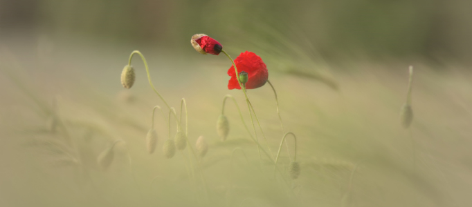 Picture no: 12216294 Klatschmohn  Created by: Tanja Riedel