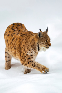 Picture no: 12216859 Luchs im Schnee Created by: DirkR