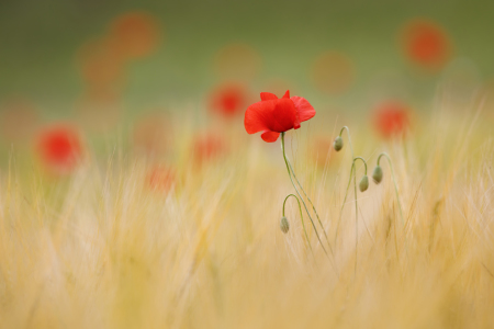 Picture no: 12228925 Mohn im Gerstenfeld Created by: Daniela Beyer