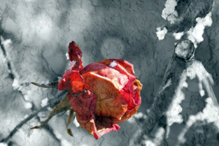 Picture no: 10003681 Winterrose Created by: Gerhard Albicker