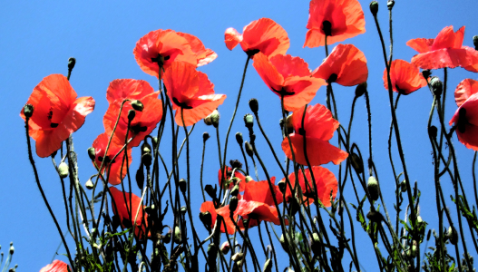 Picture no: 10106394 Mohn Created by: Level60