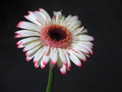 Picture no: 10499493 Gerbera Created by: Renate Knapp