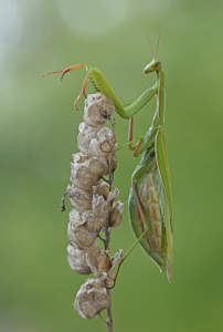 Picture no: 12098451 Mantis religiosa Created by: GUGIGEI
