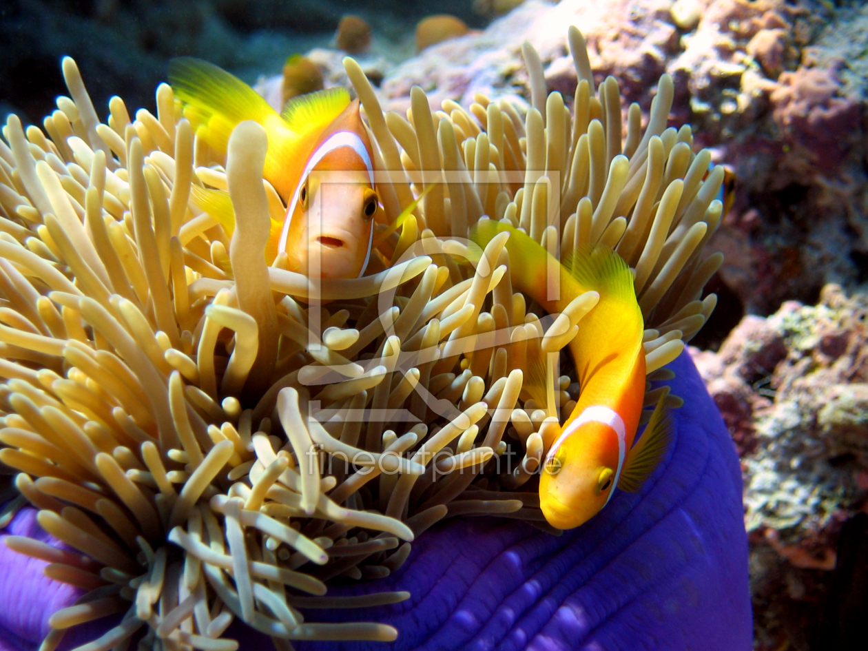 anemonenfisch als leinwand von malediven bilder de e. Black Bedroom Furniture Sets. Home Design Ideas
