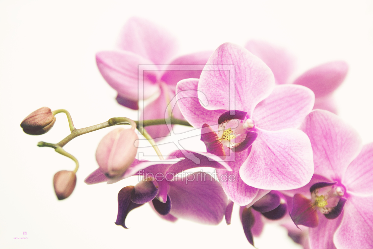 orchidee vii als leinwand von hannes cmarits erh ltlich. Black Bedroom Furniture Sets. Home Design Ideas