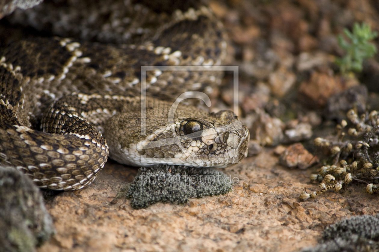 Rattle Snake als Tapete von SLSepp erhältlich bei Fine Art