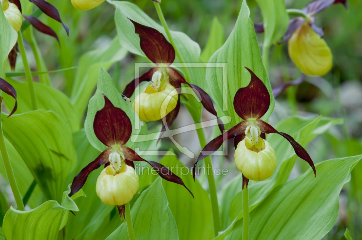 frauenschuh orchidee als gru karte von cibo erh ltlich. Black Bedroom Furniture Sets. Home Design Ideas
